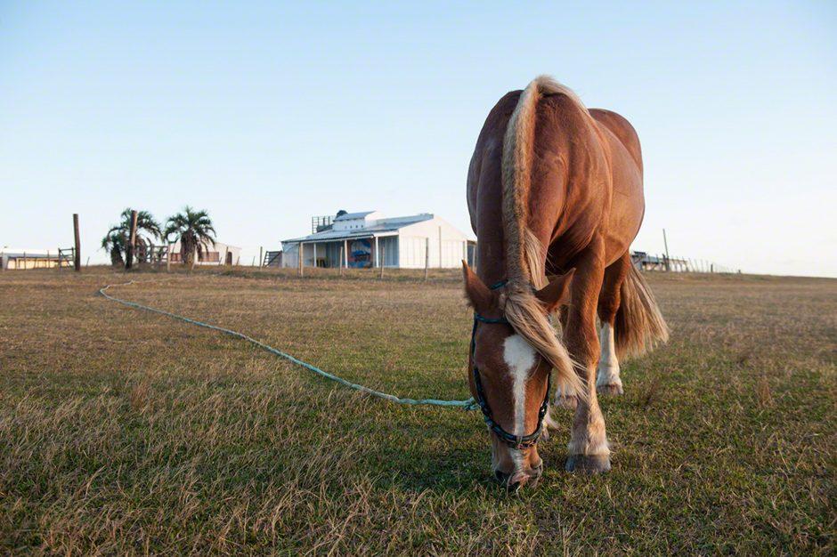 un cavallo bruca vicino alla spiaggia di Cabo Polonio in Uruguay